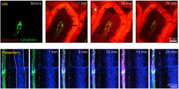 In Vivo Small Intestinal Absorption Imaging